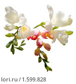Купить «Цветок изолированный на белом фоне», фото № 1599828, снято 1 апреля 2010 г. (c) Юрий Бельмесов / Фотобанк Лори