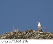 Чайка кричит, сидя на скале. Стоковое фото, фотограф Назвин Алексей / Фотобанк Лори