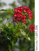 Купить «Малиновая герань», эксклюзивное фото № 1601356, снято 11 мая 2009 г. (c) lana1501 / Фотобанк Лори