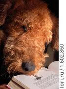 Купить «Читающая собака», фото № 1602860, снято 23 мая 2008 г. (c) Литова Наталья / Фотобанк Лори