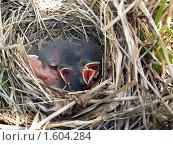 Купить «Птенцы в гнезде», фото № 1604284, снято 13 июля 2006 г. (c) Александр Масалев / Фотобанк Лори