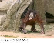 Купить «Малыш орангутана», фото № 1604552, снято 3 апреля 2010 г. (c) Щеголева Ольга / Фотобанк Лори