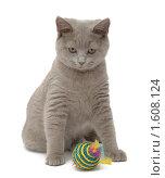 Купить «Британский голубой кот с игрушкой», эксклюзивное фото № 1608124, снято 14 марта 2010 г. (c) Вячеслав Палес / Фотобанк Лори