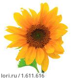 Цветок подсолнуха на белом фоне. Стоковое фото, фотограф Елена Гришина / Фотобанк Лори