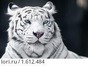 Купить «Бенгальский тигр», фото № 1612484, снято 20 марта 2010 г. (c) Евгений Захаров / Фотобанк Лори