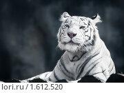 Купить «Бенгальский тигр», фото № 1612520, снято 20 марта 2010 г. (c) Евгений Захаров / Фотобанк Лори