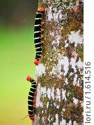 Купить «Две гусеницы на стволе дерева», фото № 1614516, снято 27 ноября 2009 г. (c) Владимир Мельник / Фотобанк Лори