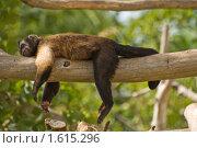 Обезьянка, спящая на бревне. Стоковое фото, фотограф Борис Иванов / Фотобанк Лори