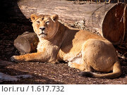 Купить «Азиатский лев», фото № 1617732, снято 20 марта 2010 г. (c) Евгений Захаров / Фотобанк Лори