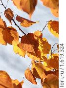 Осенние желтые листья на ветру. Стоковое фото, фотограф Алексей Калистратов / Фотобанк Лори