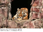 Купить «Тигр отдыхает, положив голову на лапы», эксклюзивное фото № 1622472, снято 10 апреля 2010 г. (c) Щеголева Ольга / Фотобанк Лори