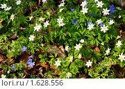 Купить «Лесные первоцветы(фон)», фото № 1628556, снято 14 апреля 2010 г. (c) Качанов Владимир / Фотобанк Лори