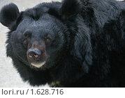 Купить «Гималайский медведь», фото № 1628716, снято 13 апреля 2010 г. (c) Михаил Борсов / Фотобанк Лори