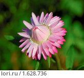 Купить «Цветок гелихризума (сухоцвет)», фото № 1628736, снято 25 июля 2008 г. (c) Алёшина Оксана / Фотобанк Лори