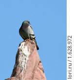 Купить «Голубь на скале», эксклюзивное фото № 1628972, снято 3 апреля 2010 г. (c) Щеголева Ольга / Фотобанк Лори