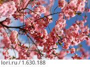 Купить «Цветение сакуры», фото № 1630188, снято 14 апреля 2010 г. (c) Ельчанинов Вячеслав / Фотобанк Лори