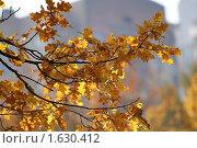 Купить «Ветви дуба с осенними листьями», фото № 1630412, снято 5 октября 2008 г. (c) Владимир Журавлев / Фотобанк Лори