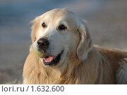 Купить «Собака голден ретривер на пляже», фото № 1632600, снято 26 января 2010 г. (c) крижевская юлия валерьевна / Фотобанк Лори