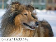 Купить «Портрет собаки колли морозным утром», фото № 1633148, снято 6 февраля 2010 г. (c) Даниил Разумов / Фотобанк Лори