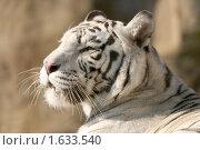 Купить «Бенгальский (белый) тигр», эксклюзивное фото № 1633540, снято 10 апреля 2010 г. (c) Щеголева Ольга / Фотобанк Лори