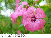 Купить «Цветок лаватеры трехмесячной в саду», фото № 1642864, снято 2 августа 2009 г. (c) Losevsky Pavel / Фотобанк Лори