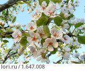Купить «Цветущая ветка груши», фото № 1647008, снято 20 апреля 2010 г. (c) Бондарь Александр Николаевич / Фотобанк Лори