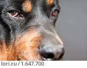 Взгляд сонного ротвейлера. Стоковое фото, фотограф ФЕДЛОГ / Фотобанк Лори