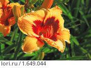 Купить «Цветок красно-желтого лилейника (Нemerocallis)», эксклюзивное фото № 1649044, снято 24 июля 2008 г. (c) Алёшина Оксана / Фотобанк Лори