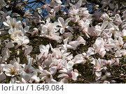 Купить «Розовые магнолии», фото № 1649084, снято 19 апреля 2010 г. (c) Владимир Белобаба / Фотобанк Лори