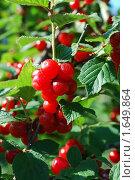 Красная вишня. Стоковое фото, фотограф Миронов Андрей Васильевич / Фотобанк Лори