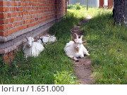 Козы. Стоковое фото, фотограф Дмитрий Сузан / Фотобанк Лори