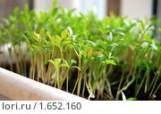 Купить «Кресс-салат на подоконнике», фото № 1652160, снято 16 апреля 2010 г. (c) Елена Ильина / Фотобанк Лори