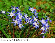 Купить «Цветы Хионодокса (Chionodoxa) на поляне», фото № 1655008, снято 28 апреля 2009 г. (c) Алёшина Оксана / Фотобанк Лори