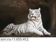 Купить «Белый бенгальский тигр», фото № 1655412, снято 24 апреля 2010 г. (c) Наталья Волкова / Фотобанк Лори