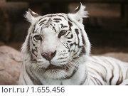 Купить «Белый бенгальский тигр», фото № 1655456, снято 24 апреля 2010 г. (c) Наталья Волкова / Фотобанк Лори