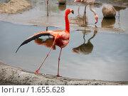 Купить «Танцующий фламинго», фото № 1655628, снято 24 апреля 2010 г. (c) Наталья Волкова / Фотобанк Лори