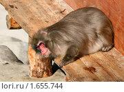 Купить «Лежащая обезьяна, японский макак», эксклюзивное фото № 1655744, снято 10 апреля 2010 г. (c) Щеголева Ольга / Фотобанк Лори