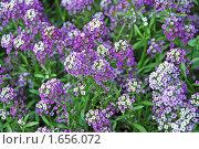 Купить «Лобулярия морская — L. maritima (L.) Desv. (syn. Алиссум морской — Alyssum maritimum Lam.)», эксклюзивное фото № 1656072, снято 1 сентября 2009 г. (c) lana1501 / Фотобанк Лори