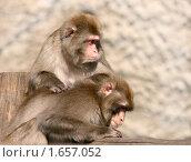 Купить «Две обезьяны. Снежная макака», эксклюзивное фото № 1657052, снято 10 апреля 2010 г. (c) Щеголева Ольга / Фотобанк Лори