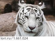 Купить «Грустный белый бенгальский тигр», фото № 1661024, снято 24 апреля 2010 г. (c) Наталья Волкова / Фотобанк Лори