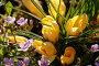 Жёлтые крокусы, фото № 1664260, снято 27 апреля 2010 г. (c) Ткачёва Ольга / Фотобанк Лори