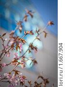 Купить «Ветки сакуры с бутонами на фоне офисного здания», фото № 1667904, снято 26 апреля 2010 г. (c) Галина Короленко / Фотобанк Лори