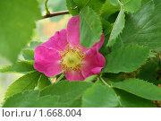 Купить «Цветок шиповника в зеленых листьях», фото № 1668004, снято 9 июня 2009 г. (c) Абакумова Евгения / Фотобанк Лори