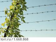 Купить «Ветка зеленого дерева на фоне колючей проволоки», фото № 1668868, снято 22 апреля 2010 г. (c) Александр Малышев / Фотобанк Лори