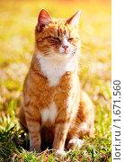 Купить «Рыжий кот», фото № 1671560, снято 25 апреля 2008 г. (c) Евгений Захаров / Фотобанк Лори