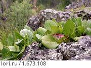 Молодые листья бадана на камнях. Стоковое фото, фотограф Андрей Дегтярев / Фотобанк Лори