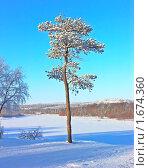 Купить «Сосна в снегу», фото № 1674360, снято 24 февраля 2008 г. (c) Мирзоянц Андрей / Фотобанк Лори