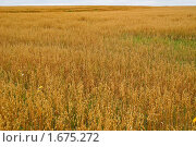 Купить «Поле с созревшим овсом», фото № 1675272, снято 22 августа 2009 г. (c) Алёшина Оксана / Фотобанк Лори