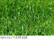 Купить «Зеленая трава», эксклюзивное фото № 1678628, снято 27 мая 2009 г. (c) Алёшина Оксана / Фотобанк Лори