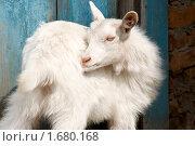 Купить «Белая коза», фото № 1680168, снято 1 мая 2010 г. (c) Вячеслав Борисевич / Фотобанк Лори